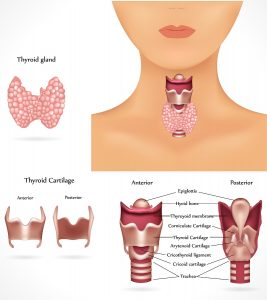 bigstock-Thyroid-gland-19336097